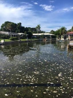 Red tide at Spinnaker Halyard Canal on Longboat Key.