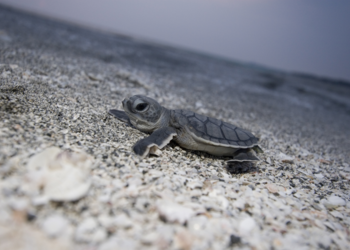 Sea turtle nesting season began on May 1 and ends October 31.