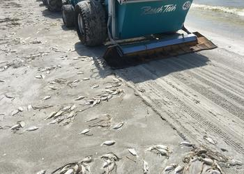 Red tide is affecting Longboat Key again.