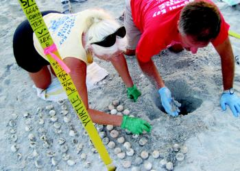Volunteers count the number of hatched eggs during a public nest opening last summer. File photo.