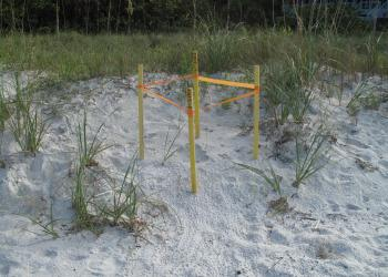 The tiny turtle tracks in the sand help patrols to find turtle nests that, unlike this nest, are not marked. Photo courtesy of Mote Marine Laboratory.