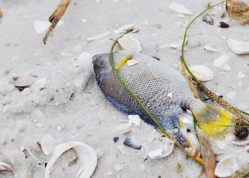 Dead fish washed ashore on Siesta Key this morning.