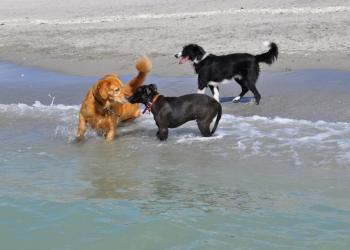 Dogs enjoy the surf at Brohard Paw Park Beach in Venice.