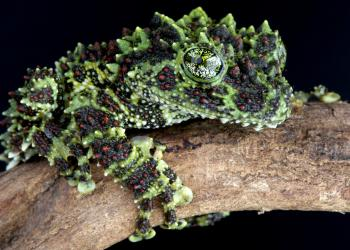 The Vietnamese mossy frog, a master of camouflage, will be among the first frogs ever to be on display at Mote. (Mote Marine Laboratory)