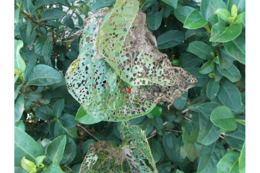 The beetles munch away at the air potato vines, and leave other plants untouched. Photo courtesy Tyree Brown, Rizzetta & Company.