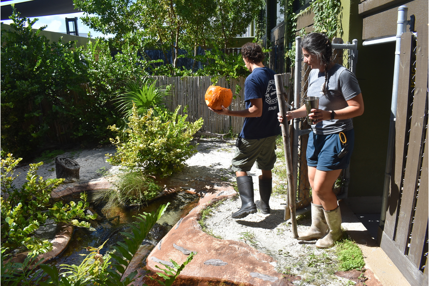 Biologists Brian Siegel and Veronica Garcia bring Rosy the American alligator her pumpkin.