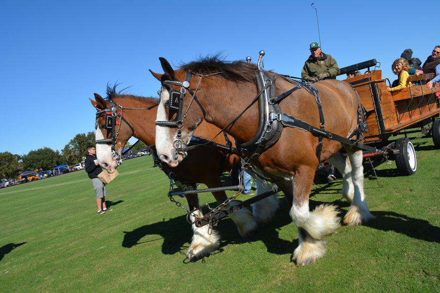 A team of clydesdales pulls guests during a half-time break.