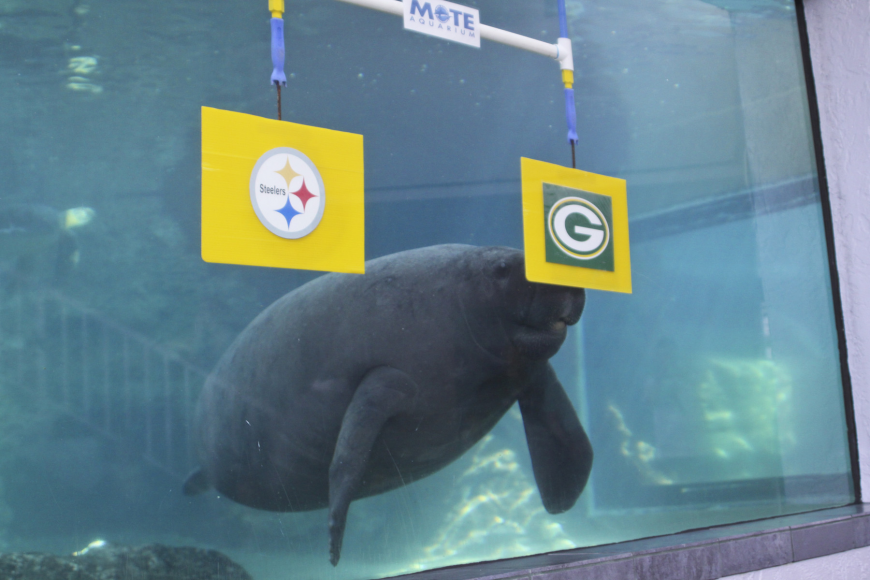 Buffett chose the Packers to win this year. Photo courtesy of Mote Marine Laboratory.