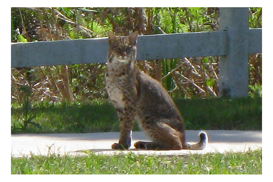 East County resident Geoff Sugden was driving down Lorraine Road, just north of University Parkway around 11:30 a.m., March 16, when he spotted this bobcat run across the road.