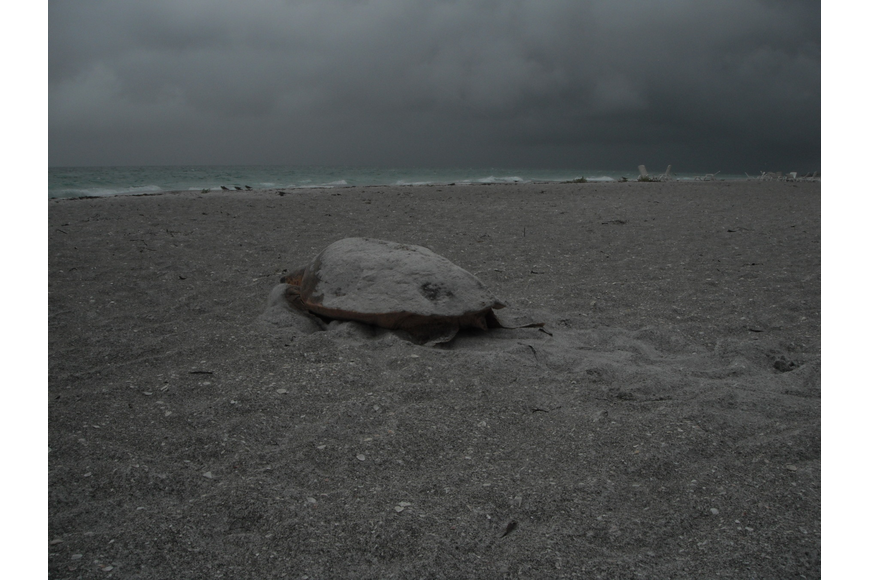 The loggerhead turtle headed back toward the Gulf around 7 a.m. after finishing her nest near the Sea Oats condominium.