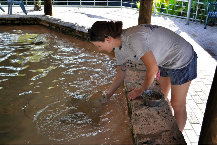 Corrie Williams, 21, feeds the stingrays bait fish Tuesday, July 12 at Mote. Williams recently graduated from Santa Fe College in Gainesville, FL with a degree in zoo science and will be an intern at Mote for 6 months.