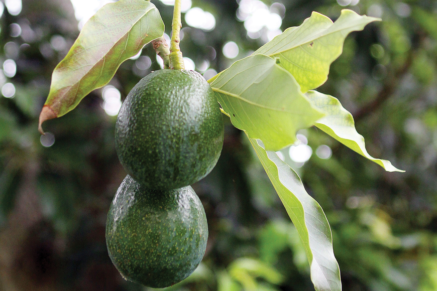 The large avocado tree is full of fresh avocados that will soon be ready to be picked.