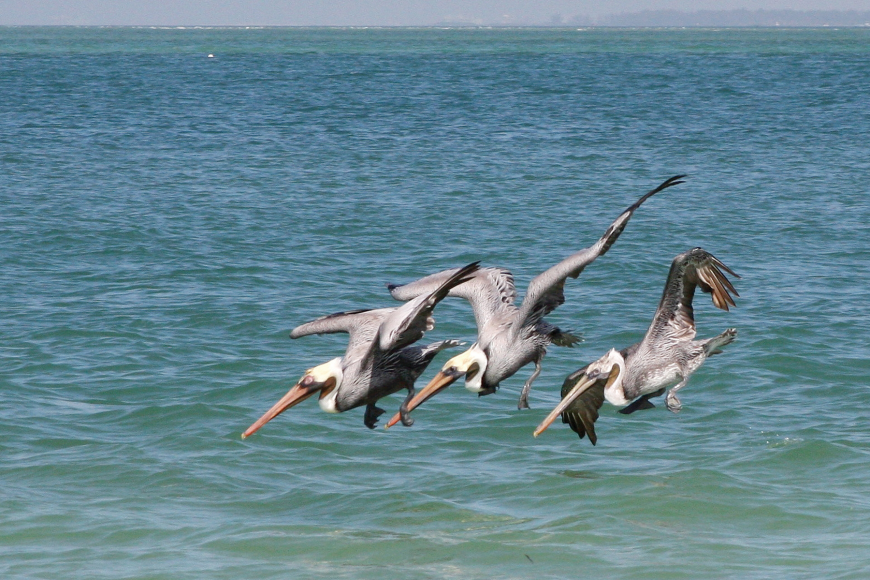 Fran Palmeri took this photo of a trio of pelicans looking for tasty treats in the Gulf of Mexico.