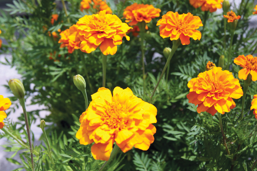 Little hero marigolds bloom brightly.