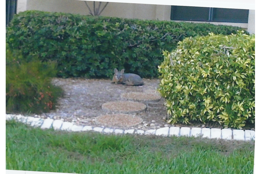 """Freddie"" the fox curls up for a nap in front of a Gulf & Bay Club condominium. He and his mate have made themselves regular members of the community, residents say. Courtesy of Dee Reinbold."