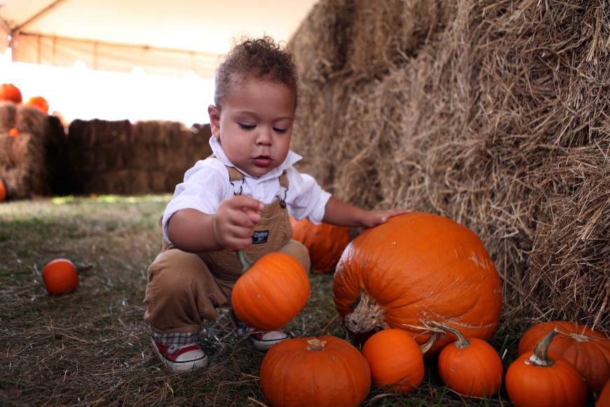 Zion Lugo, 17 mos., has fun picking up the smaller pumpkins in the hay maze Saturday, Oct. 27, at the Sarasota Pumpkin Festival.