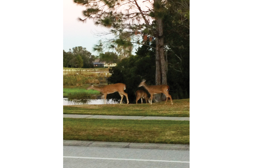 The Juliano family, of River Club, spotted these deer in their neighborhood over Thanksgiving weekend.