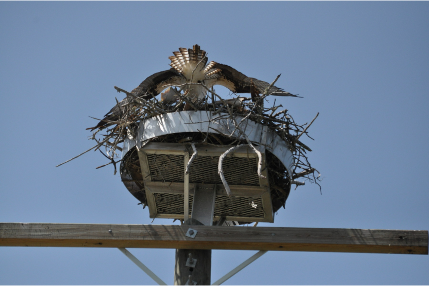 Early this week, the birds built a nest atop a telephone pole 371 feet south of Tangerine Bay, 360 Gulf of Mexico Drive.