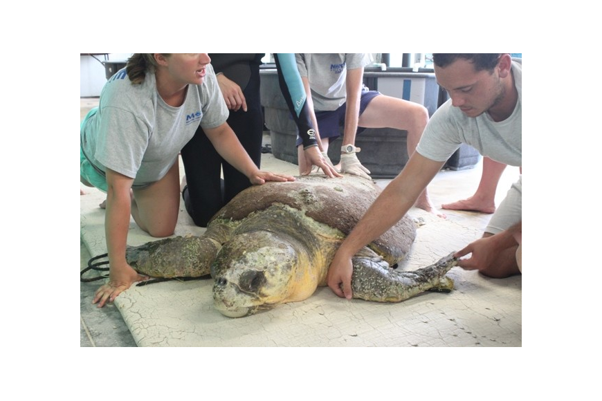 Murph is one of the largest turtles ever rescued by Mote. (Photo courtesy of Mote Marine Laboratory)