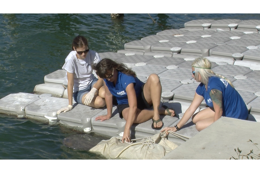 Staff from the Mote Marine Laboratory Stranding Investigations Program secure the body of a juvenile male manatee before removing it from the waterway.