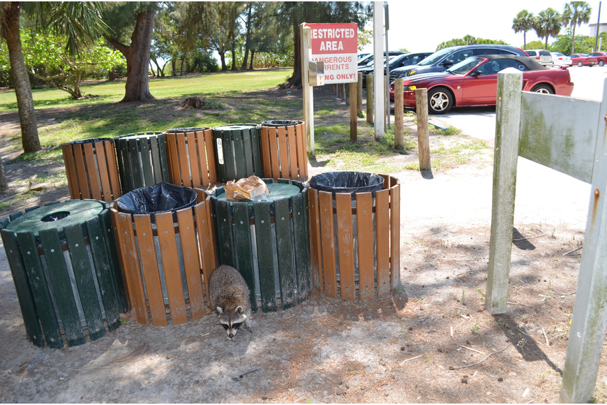 Raccoons are a common sight during the day at Ted Sperling Park, and the county is trying to reduce their ability to scavenge through trash cans for food. Photo by David Conway