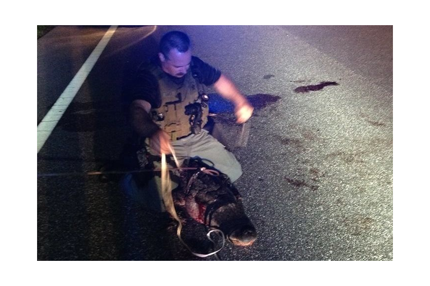 (Courtesy) Sarasota County Sheriff's Office deputy Blake Luce secures an alligator that was struck by a car on Richardson Road Monday.