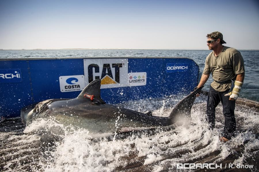 Mote researchers tagged Katharine in August 2013 on the M/V OCEARCH. (Robert Snow Photography)