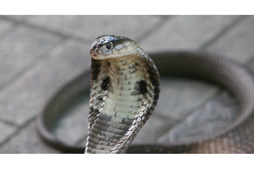The Florida Fish and Wildlife Conservation Commission seized a monocled cobra, among seven venomous reptiles, from a Sarasota man last week.
