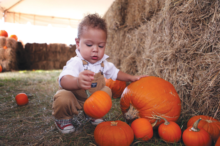 Zion Lugo, 17 mos., has fun picking up the smaller pumpkins in the hay maze at the Sarasota Pumpkin Festival.
