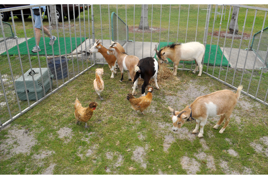 Goats and chickens roamed in their pen.