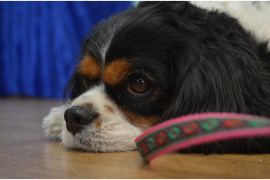 Jackie Heyman's Cavalier King Charles, Chloe, greeted visitors at her Hope Antiques stand.