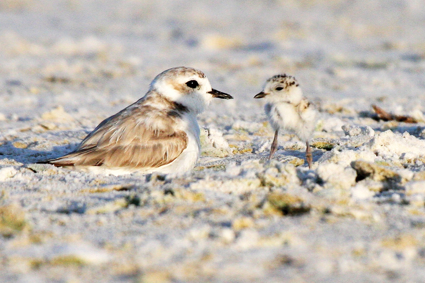 Six snowy plovers made it to the fledgling stage on county beaches,including Siesta; that meant they could fly away on their own.