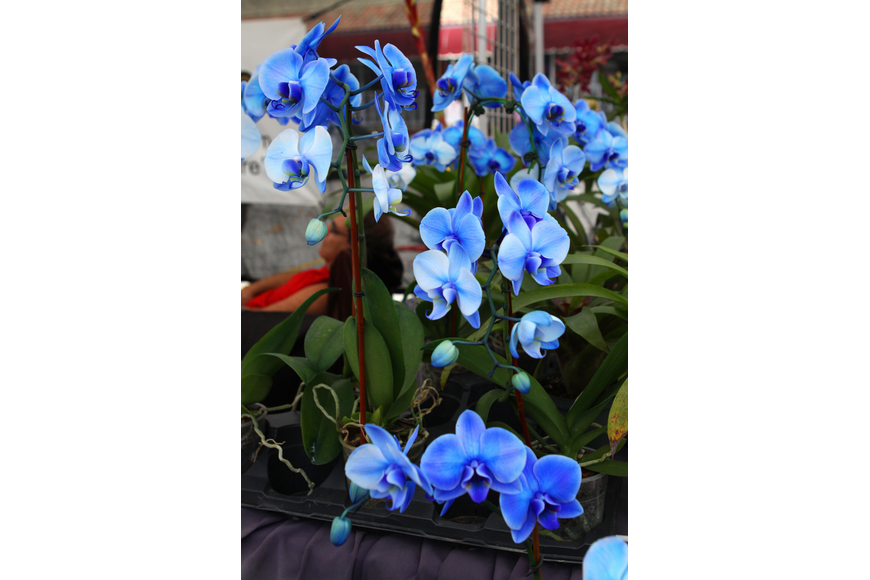 Majestic Foliage sold many of their blue orchids over the weekend at the Siesta Key Craft Festival.