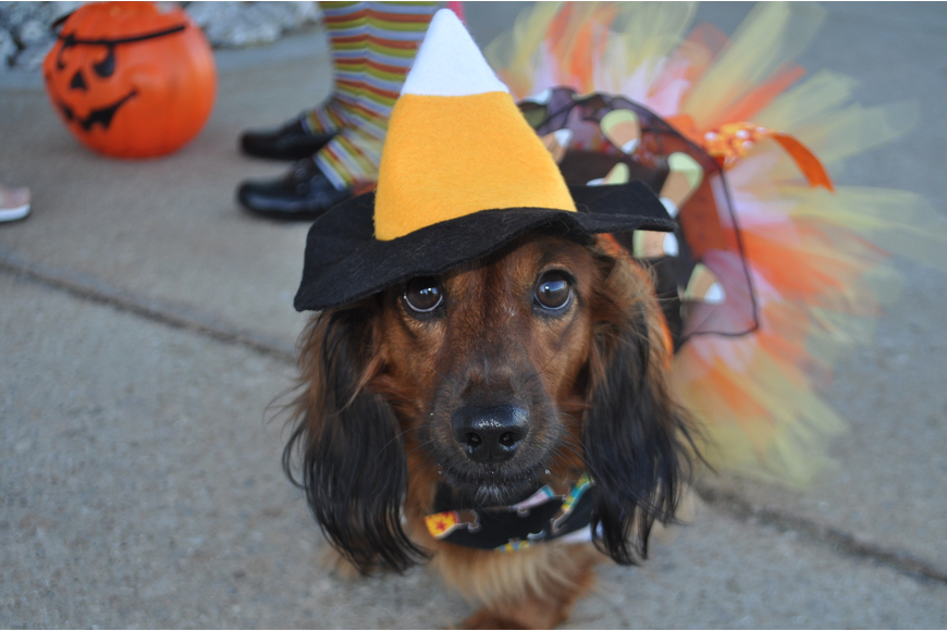 Miniature long hair doxen Callie was a in a candy-corn costume