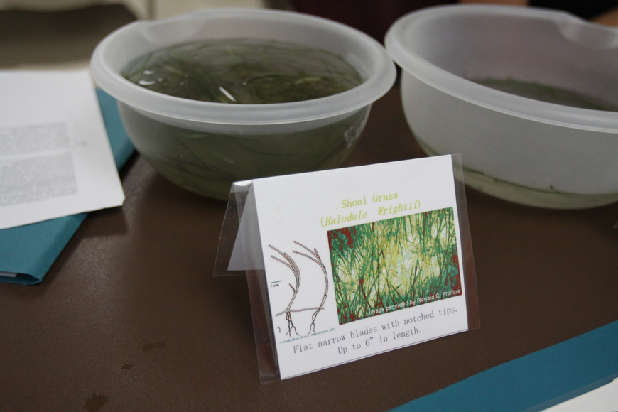 Examples of different types of seagrass were on display for the volunteers to look at and touch.