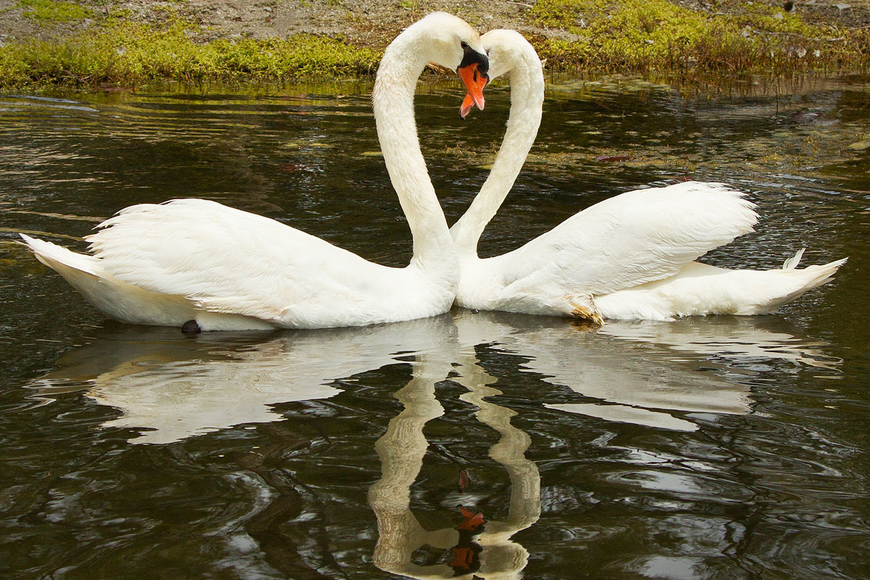 Vicki the swan was reunited with her mate, Henry, at the Harbor Links pond after spending nine days at Save our Seabirds in April for medical treatment.