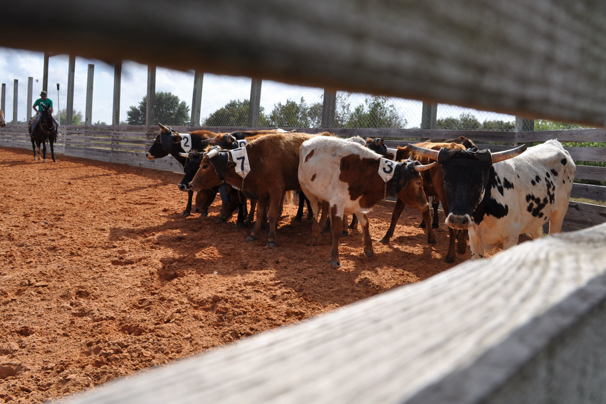 Competitors had to separate specific cattle from the herd during a cattle penning competition.