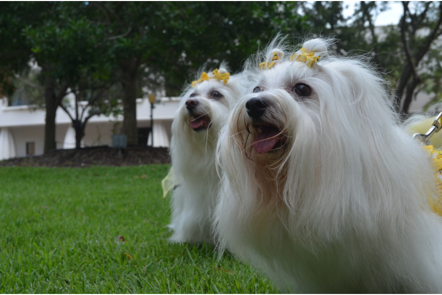 Marianne and Dan Blazowich have seven Malteses that are certified therapy dogs.