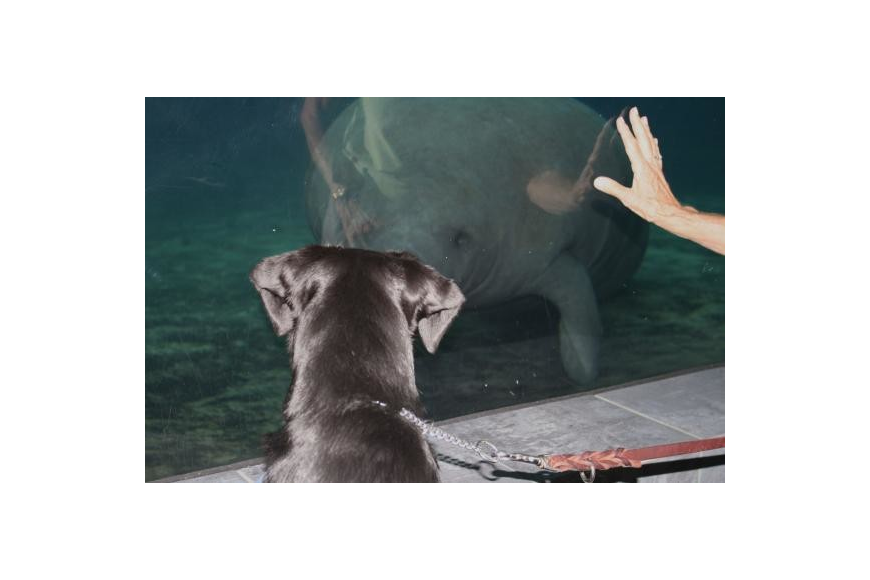Iberia gets nose-to-nose with a manatee. She couldn't take her eyes off of it. Photo by Mallory Gnaegy