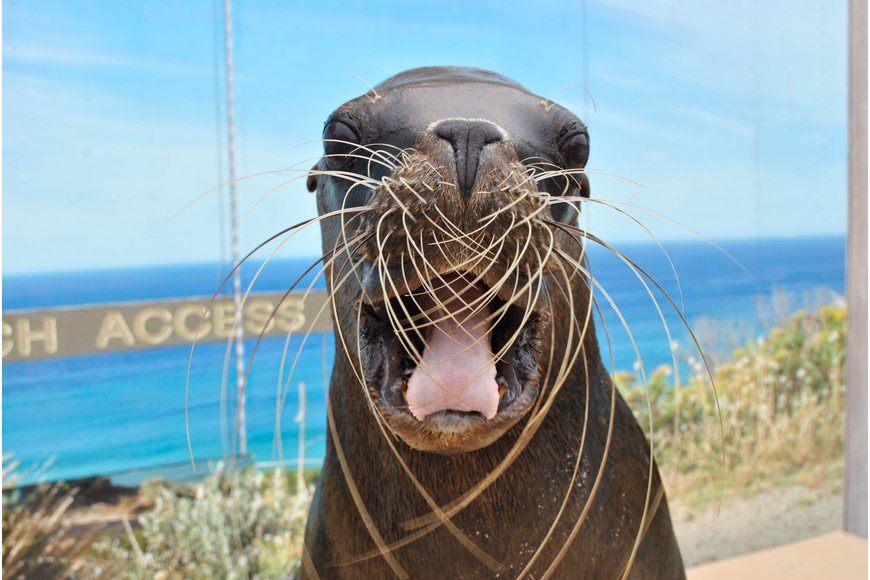 Sea lion Stella posed for a photo-op in preparation for her debut Dec. 1 at Mote's