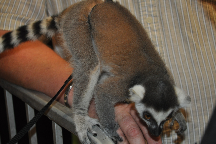 A lemur named Gizmo hopped from shoulder to shoulder during the event.