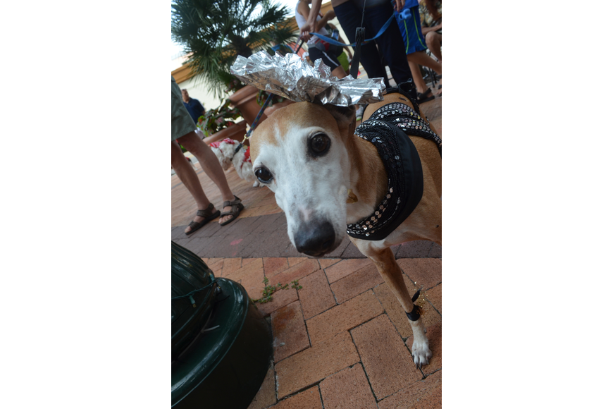 Minko, an Italian greyhound, receives first prize and Top Dog for her sparkly costume.