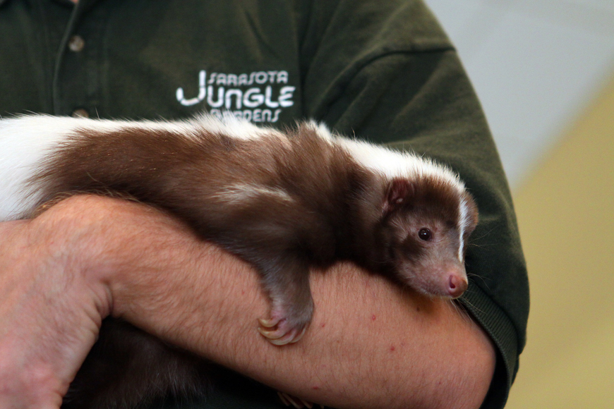 Mocha the skunk cuddles up in Jeremiah Nichol's arms, Thursday, Jan. 12, inside the Parish Hall at St. Boniface.