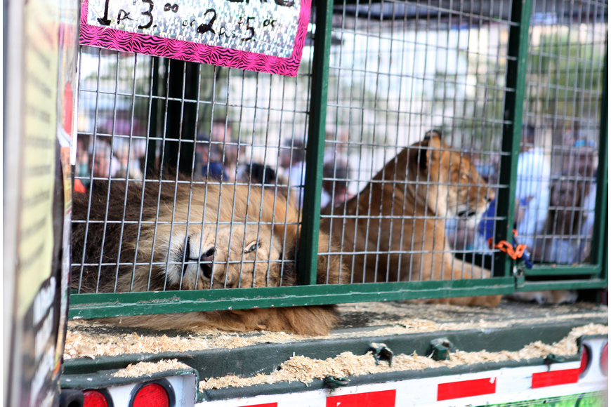 Big Cat Habitat brought out two white tigers, a lion and liger for festival-goers to see and feed.