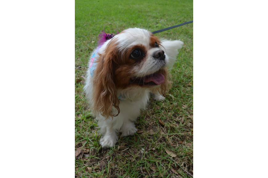 Ginger, a Cavalier King Charles spaniel, participates in Dog Dayz of Summer.