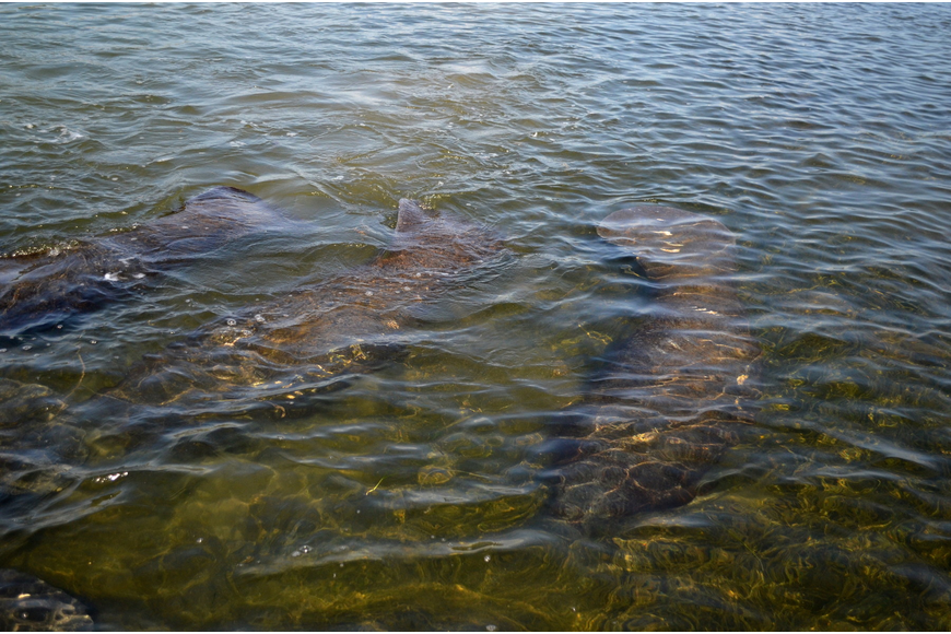 A herd of manatees swim by the campers as they navigate the bay.