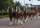 The Budweiser Clydesdales begin their march down Lakewood Main Street on Thursday in celebration of Gold Coast Eagle Distributing earning the Ambassadors of Excellence Award from Anheuser-Busch.